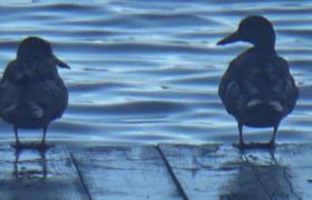 Jezioro Serwy kaczki